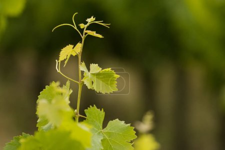 bright green grape vines
