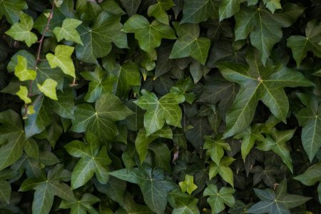 Ivy growing against a white exterior wall