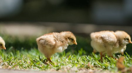 Baby chicks walking  on a grass
