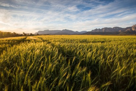 golden wheat field in South Africa