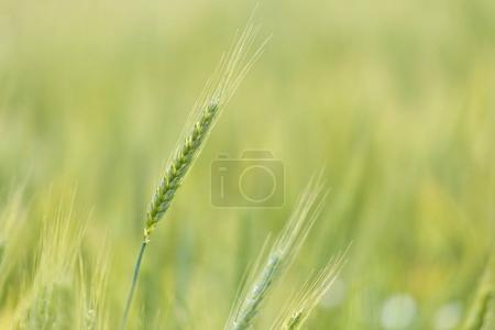 Young green wheat growing