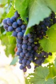 grapes  in the Breede Valley,