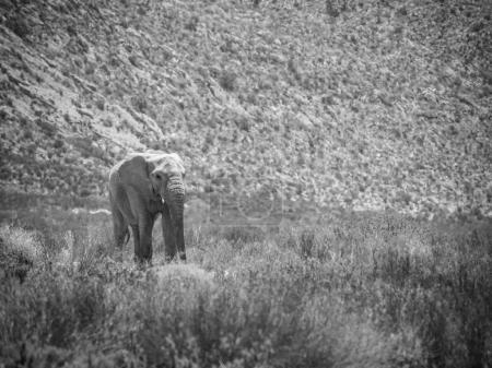 Endangered African Elephant walking in a protected nature reserv