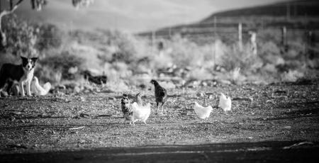 Photo for Close up image of a chicken on a farm - Royalty Free Image