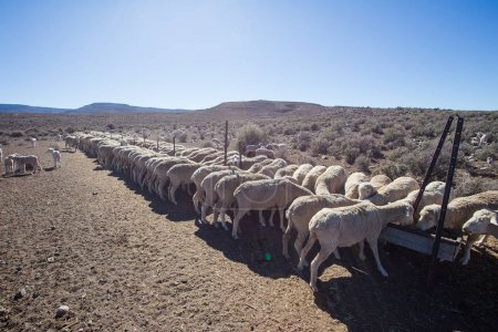 Sheep eating at  farm  in South Africa