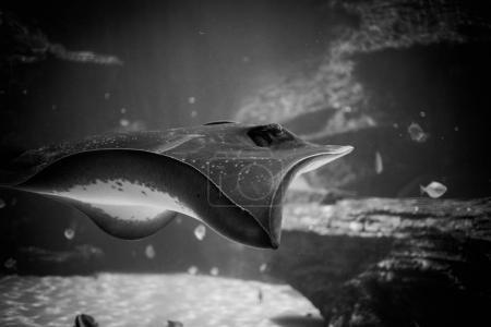 stingray swimming in an aquarium