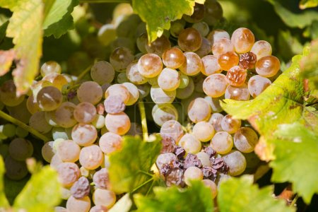 grapes ready to be picked