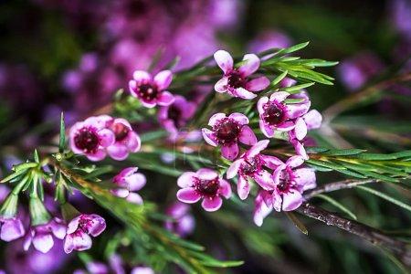 Geraldton wax flowers (Chamelaucium uncinatum)