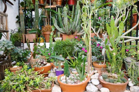 Cactus in brown pot. Many different cactuses