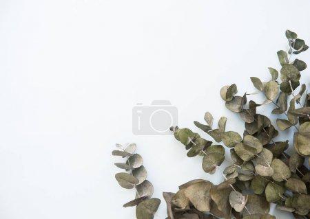 Flat lay Eucalyptus, top view, flat lay