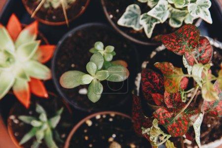 mixed succulents plant in pot