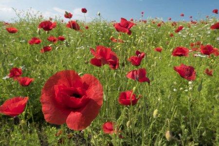 Happy poppies image