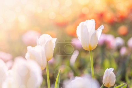 Photo for White Tulip in Spring under sun ray, Beautiful and colourful tulip on sun light. - Royalty Free Image