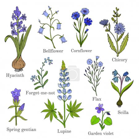 Illustration for Set of blue flowers plants - bellflower, cornflower, chicory, flax, scilla, lupine, forget-me-not, violet, hyacinth, spring gentian. Hand drawn botanical vector illustration - Royalty Free Image