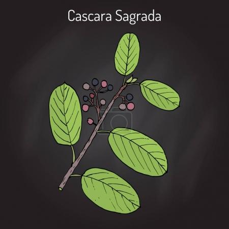 Cascara sagrada Rhamnus purshiana , or persian bark, medicinal plant