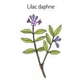 Lilac-daphne daphne genkwa , medicinal plant