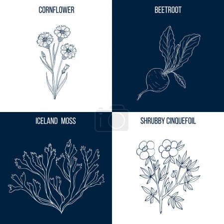Vector collection of four hand drawn medicinal and eatable plants,