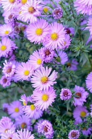 autumn purple flowers Aster shrub