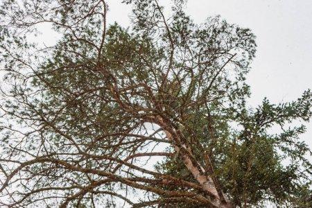 Photo pour Les branches et les aiguilles d'un pin sur fond gris - image libre de droit