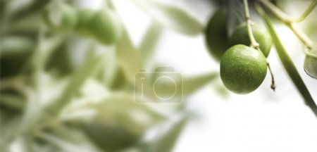 Photo pour Horizontal image of an olive tree branch, with blurry leaves on the left. - image libre de droit