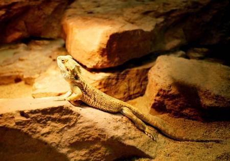 iguana sitting on big stones