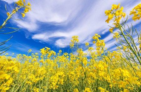Photo pour Scenic Nature Theme. Champ de viols oléagineux en fleurs Gros plan avec ciel nuageux bleu au-dessus. Agriculture Industrie . - image libre de droit