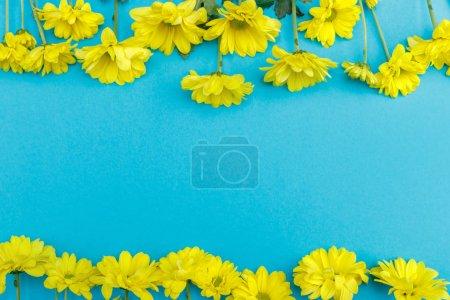 Photo pour Vue du dessus de belles fleurs de chrysanthème à fleurs jaunes isolées sur fond bleu - image libre de droit