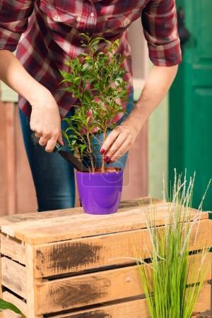 Photo pour Gros plan vue partielle du jeune jardinier en chemise à carreaux plante cultivée en pot - image libre de droit