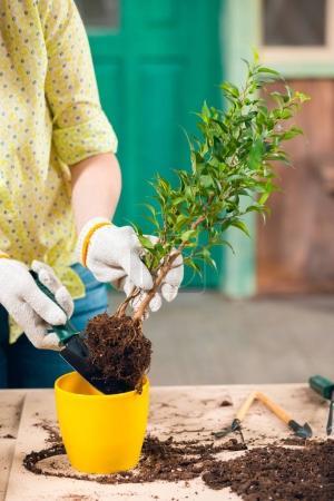 Photo pour Recadrée vue de femme transplantation usine dans le nouveau pot de fleurs sur la véranda - image libre de droit