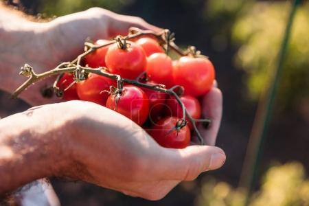 farmer holding tomatoes