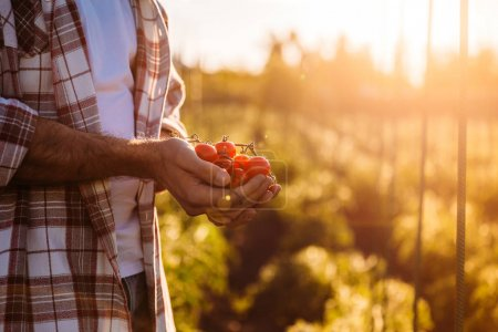 Photo for Cropped shot of farmer holding ripe organic tomatoes during harvesting - Royalty Free Image