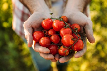 Photo for Close-up partial view of farmer holding fresh ripe tomatoes in hands - Royalty Free Image