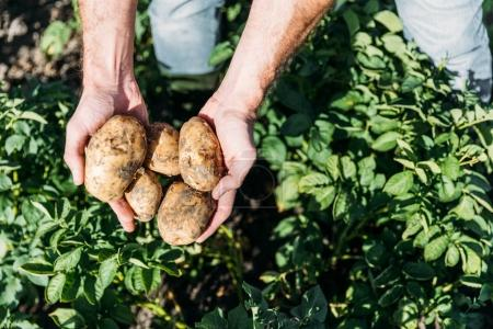 Photo for Close-up partial view of farmer holding ripe organic potatoes in field - Royalty Free Image