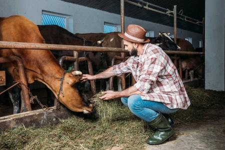 male farmer feeding cows