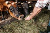 farmer feeding cows in stall