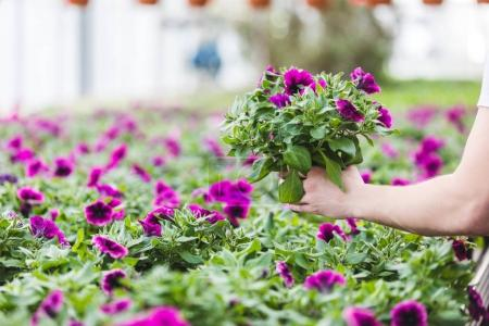 Cropped view of purple flowers in hands of gardener