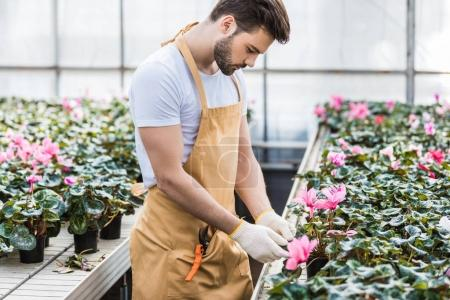 Handsome gardener planting Cyclamen flowers in greenhouse