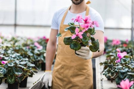 Close-up view of pot with Cyclamen flowers in male hands