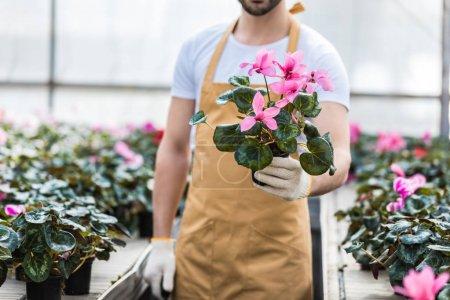 Photo pour Vue rapprochée du pot avec des fleurs de Cyclamen en mains mâles - image libre de droit