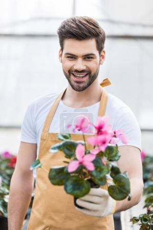 Smiling male gardener holding pot with flowers in glasshouse