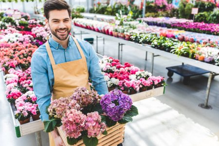 Smiling male gardener holding pot with hydrangea flowers in glasshouse