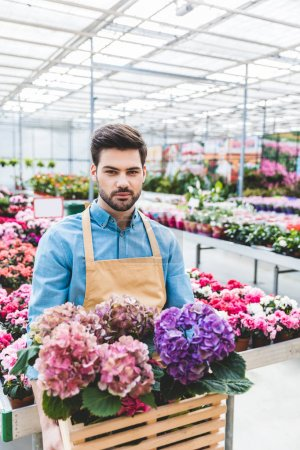 Handsome gardener holding hydrangea flowers in greenhouse