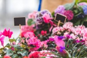 Colorful blooming flowers in pots with empty tags