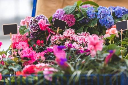Pink and blue blooming flowers in pots with empty tags