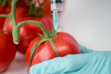 Photo for Close-up partial view of scientist making injection in fresh tomatoes, gmo concept - Royalty Free Image