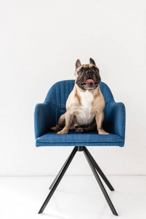 Photo for Cute purebred french bulldog sitting on blue chair isolated on grey - Royalty Free Image