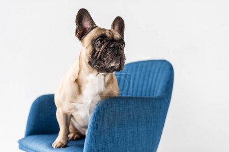 Photo pour Mignon bouledogue français pur-sang assis sur chaise isolé sur gris - image libre de droit