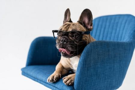 french bulldog in eyeglasses on chair