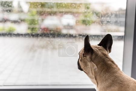 Foto de Vista cercana de perro mirando la ventana con gotas de lluvia - Imagen libre de derechos