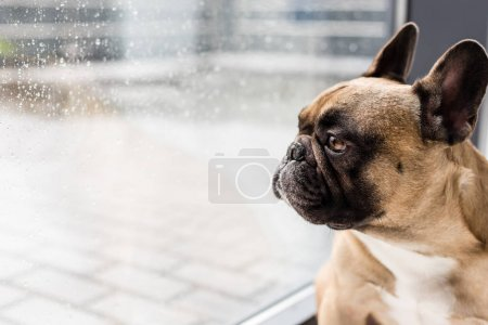 dog looking at window